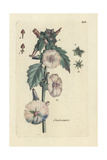 Marshmallow, Althaea Officinalis Giclee Print by Pierre Bulliard