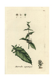 "Gypsywort, Lycopus Europaeus, From Pierre Bulliard's ""Flora Parisiensis,"" 1776, Paris Giclee Print by Pierre Bulliard"