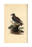 Starling From Edward Donovan's Natural History of British Birds, London, 1809 Reproduction procédé giclée par Edward Donovan