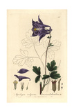 Columbine, Aquilegia Vulgaris, From William Baxter's British Phaenogamous Botany, 1837 Giclee Print by Isaac Russell