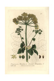 Alexanders, Smyrnium Olusatrum, From William Baxter's British Phaenogamous Botany, 1836 Giclee Print by Charles Mathews