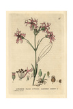 Ragged Robin, Lychnis Flos Cuculi, From William Baxter's British Phaenogamous Botany, 1834 Giclee Print by Charles Mathews