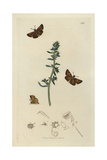 Hesperia Actaeon, Thymelicus Acteon, Lulworth Skipper, And Prickly Glasswort, Salsola Kali Giclee Print by John Curtis