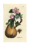 "Quince, Pyrus Cydonia, From Pierre Bulliard's ""Flora Parisiensis,"" 1776, Paris Giclee Print by Pierre Bulliard"