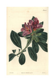 Cluster-flowered Indian Azalea with Purple Flowers, Azalea Indica Var. Y Giclee Print by Miss C. Curtis