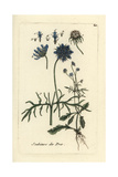 "Field Scabious, Knautia Arvensis, From Pierre Bulliard's ""Flora Parisiensis,"" 1776, Paris Giclee Print by Pierre Bulliard"