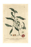 Spindle Tree, Euonymus Europaeus, From William Baxter's British Phaenogamous Botany 1834 Giclee Print by Charles Mathews