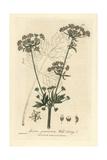 Wild Celery, Apium Graveolens, From William Baxter's British Phaenogamous Botany, 1835 Giclee Print by Charles Mathews