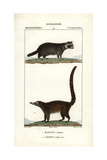 Raccoon And Coati From Frederic Cuvier's Dictionary of Natural Science: Mammals, Paris, 1816 Giclee Print