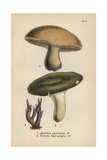 Masked Mushroom, Agaricus Personatus 1, Variable Mushroom 2 And Amethyst Clavaria 3 Giclee Print by Mordecai Cubitt Cooke