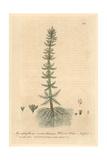 Whorled Water-milfoil, Myriophyllum Verticillatum, From British Phaenogamous Botany, 1840 Giclee Print by Charles Mathews