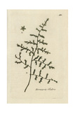 "Rupturewort, Herniaria Glabra, From Pierre Bulliard's ""Flora Parisiensis,"" 1776, Paris Giclee Print by Pierre Bulliard"