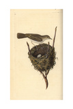 Lesser Whitethroat From Edward Donovan's Natural History of British Birds, London, 1799 Reproduction procédé giclée par Edward Donovan