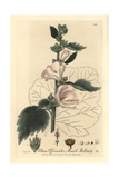 Marsh Mallow, Althaea Officinalis, From William Baxter's British Phaenogamous Botany, 1837 Giclee Print by Isaac Russell