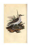 Red Phalarope From Edward Donovan's Natural History of British Birds, London, 1816 Giclee Print by Edward Donovan