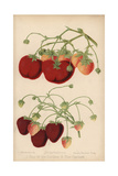 Strawberry Varieties: King of the Earlies And the Captain, Fragaria Ananassa Giclee Print by J.L. Macfarlane