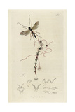 Mesochorus Sericans, Astiphromma Sericans, Ichneumon Wasp, with Less Dodder, Cuscuta Epithymum Giclee Print by John Curtis