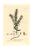 Red Bartsia, Odontites Vernus, From William Baxter's British Phaenogamous Botany, 1837 Giclee Print by Charles Mathews