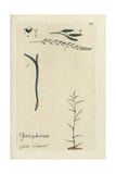 "Meadow Fescue, Festuca Pratensis, From Pierre Bulliard's ""Flora Parisiensis,"" 1776, Paris Giclee Print by Pierre Bulliard"