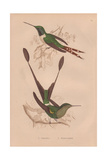 Dupont's Hummingbird, Tilmatura Dupontii, And Racket-tailed Hummingbird, Hylonympha Macrocerca Giclee Print by Henry Gardiner Adams