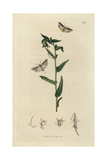 Yponomeuta Echiella, Viper's Bugloss Moth, And Yponomeuta Pusiella, Gromwell Moth Giclee Print by John Curtis