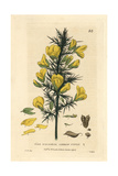 Common Furze, Ulex Europaeus, From William Baxter's British Phaenogamous Botany, 1834 Giclee Print by Isaac Russell