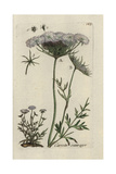 "Wild Carrot, Daucus Arvensis, From Pierre Bulliard's ""Flora Parisiensis,"" 1776, Paris Giclee Print by Pierre Bulliard"