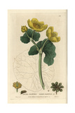 Marsh Marigold, Caltha Palustris, From William Baxter's British Phaenogamous Botany, 1835 Giclee Print by Isaac Russell