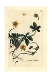 "Creeping Cinquefoil, Potentilla Reptans, From Pierre Bulliard's ""Flora Parisiensis,"" 1776, Paris Giclee Print by Pierre Bulliard"