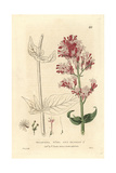 Red Valerian, Valeriana Rubra, From William Baxter's British Phaenogamous Botany, 1834 Giclee Print by William Delamotte