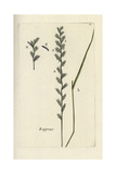 "Perennial Ryegrass, Lolium Perenne, From Pierre Bulliard's ""Flora Parisiensis,"" 1776, Paris Giclee Print by Pierre Bulliard"