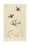 Encyrtis Vitis, Encyrtus Swederi, Vine Encyrtus, And Brown Galingale, Cyperus Fuscus Giclee Print by John Curtis