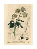 Ivy, Hedera Helix, From William Baxter's British Phaenogamous Botany, 1834 Giclée-Druck von Isaac Russell