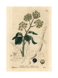 Ivy, Hedera Helix, From William Baxter's British Phaenogamous Botany, 1834 Giclee Print by Isaac Russell