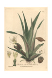 Water Soldier, Stratiotes Aloides, From William Baxter's British Phaenogamous Botany, 1841 Giclee Print by Charles Mathews