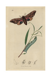 Smerinthus Ocellatus, Smerinthus Ocellata, Eyed Hawk-moth And Caterpillar on Leaf Giclee Print by John Curtis