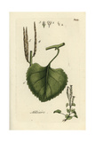 "Garlic Mustard, Alliaria Petiolata, From Pierre Bulliard's ""Flora Parisiensis,"" 1776, Paris Giclee Print by Pierre Bulliard"
