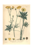 Acrid Crowfoot, Ranunculus Acris, From William Baxter's British Phaenogamous Botany, Oxford, 1838 Giclee Print by Isaac Russell