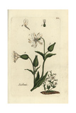 "Catchfly, Lychnis Dioica, From Pierre Bulliard's ""Flora Parisiensis,"" 1776, Paris Giclee Print by Pierre Bulliard"