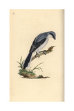 Great Grey Shrike From Edward Donovan's Natural History of British Birds, London, 1799 Reproduction procédé giclée par Edward Donovan