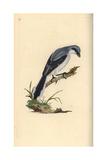 Great Grey Shrike From Edward Donovan's Natural History of British Birds, London, 1799 Giclee Print by Edward Donovan