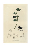 Copris Lunaris, Lunar-headed Dung Beetle And Stinking Goosefoot, Chenopodium Olidum Giclee Print by John Curtis