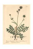 Salad-burnet, Poterium Sanguisorba, From William Baxter's British Phaenogamous Botany, 1841 Giclee Print by Charles Mathews