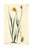 Long-stalked Sisyrinchium, Solenomelus Pedunculatus Or Sisyrinchium Pedunculatum Giclee Print by R. K. Greville
