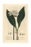Ransoms, Allium Ursinum, From William Baxter's British Phaenogamous Botany, 1834 Giclee Print by Isaac Russell