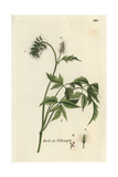 "Herb Christopher, Actaea Spicata, From Pierre Bulliard's ""Flora Parisiensis,"" 1776, Paris Giclee Print by Pierre Bulliard"