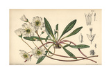 Calandrinia Oppositifolia, White Flower Native To Oregon And California Giclee Print by Matilda Smith