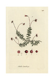 "European Cranberry, Vaccinium Oxycoccus, From Pierre Bulliard's ""Flora Parisiensis,"" 1776, Paris Giclee Print by Pierre Bulliard"