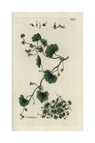 "Ivy-leaved Toadflax, Cymbalaria Muralis, From Pierre Bulliard's ""Flora Parisiensis,"" 1776, Paris Giclee Print by Pierre Bulliard"