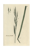"Tor Grass, Brachypodium Pinnatum, From Pierre Bulliard's ""Flora Parisiensis,"" 1776, Paris Giclee Print by Pierre Bulliard"